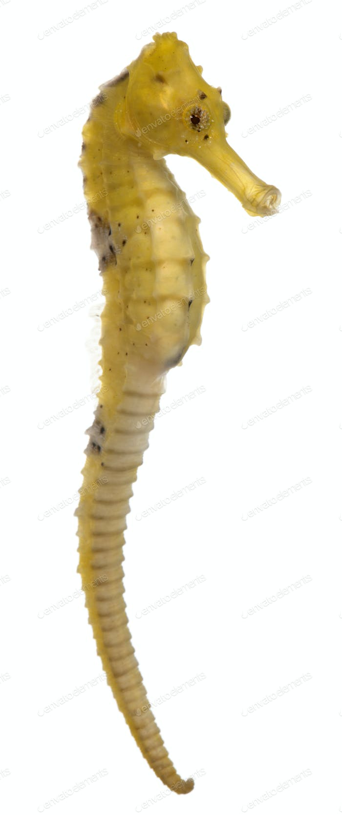 Longsnout seahorse or Slender seahorse, Hippocampus reidi yellowish, in front of white background