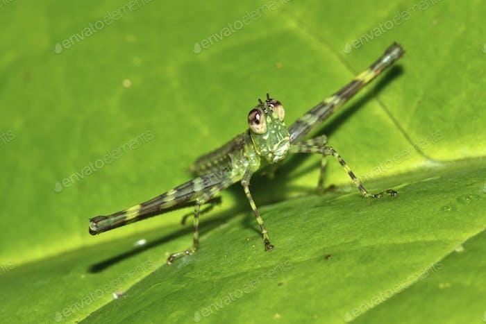 Tropical Grasshopper, Tropical Rainforest, Costa Rica