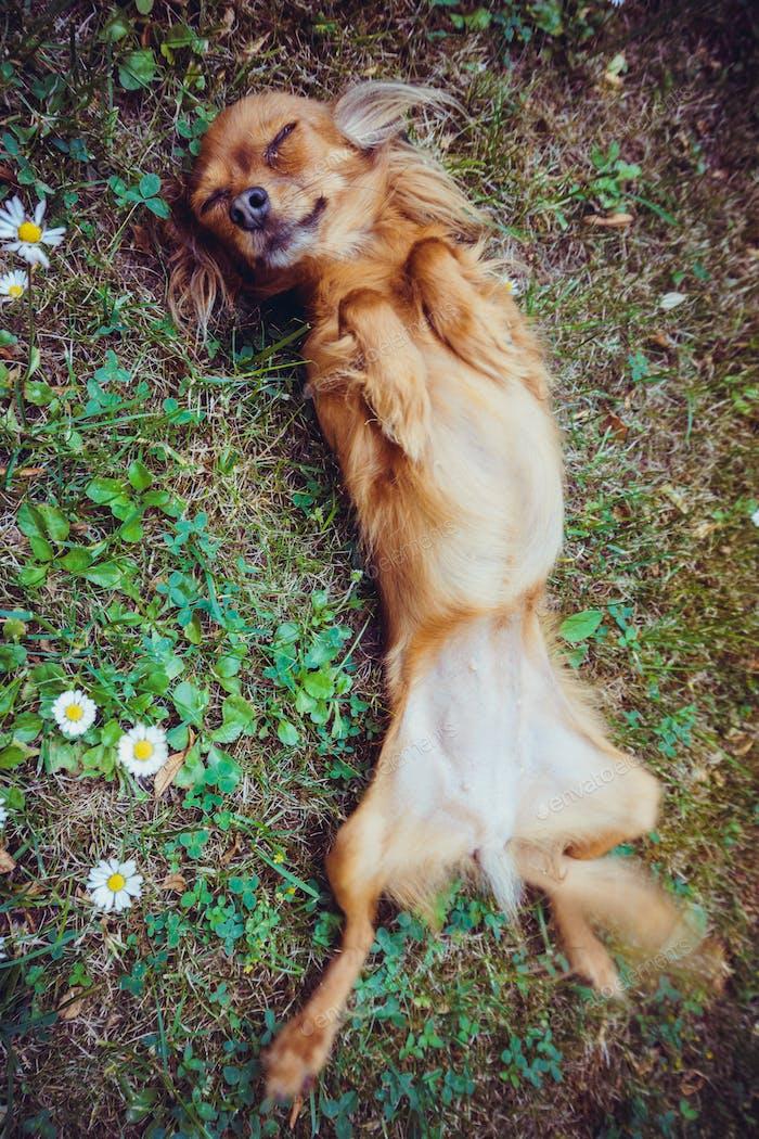 Funny little dog