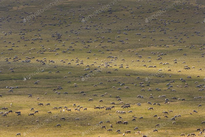 Stachelkaributiere, eine Herde von Tieren, die über die arktischen Ebenen in Alaska wandern.