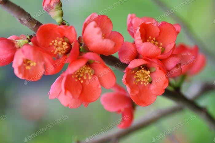 Red flowers of Japanese quince (Chaenomeles japonica) on green b
