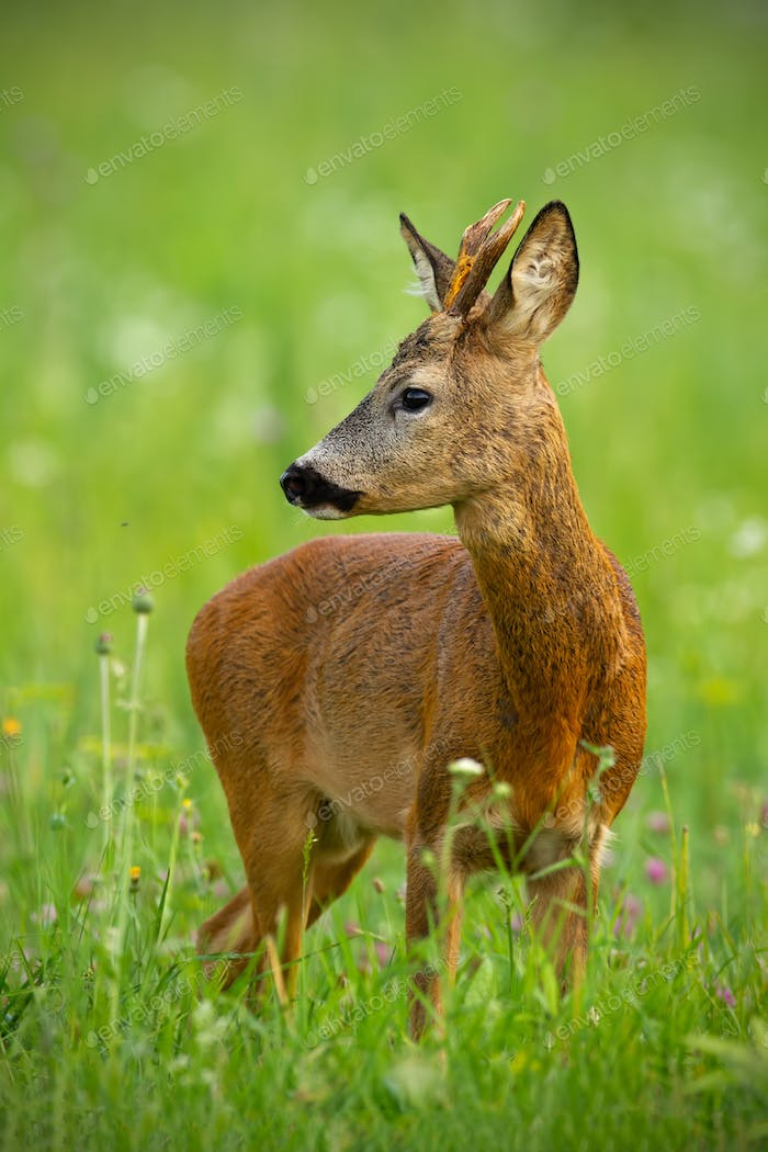Cute roe deer, capreolus capreolus, buck in summer