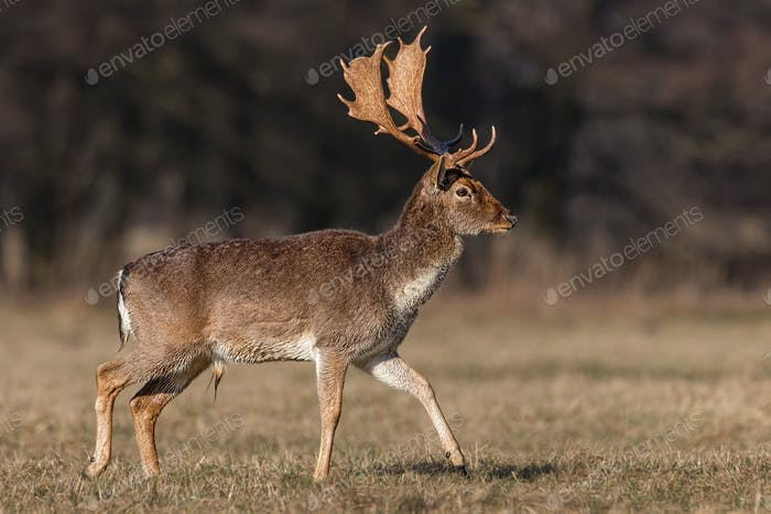 Fallow deer, dama dama, male buck with antlers walking on meadow in spring