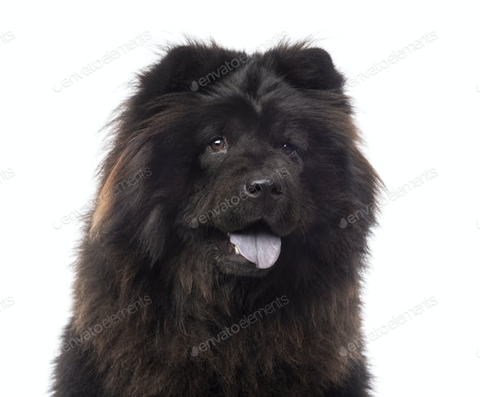 Close-up of a Chow Chow panting, 3 years old, isolated on white
