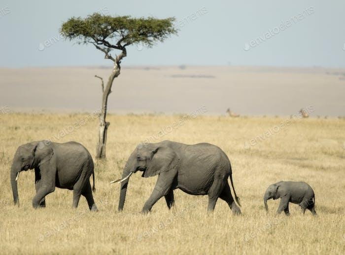 Afrikanischer Elefant Masai mara Kenia