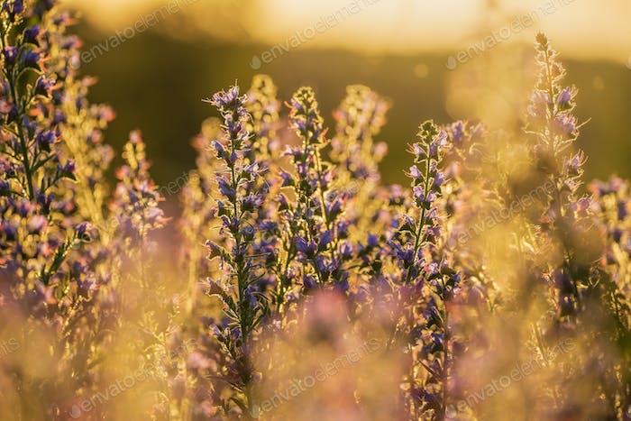 Blueweed on sunny meadow