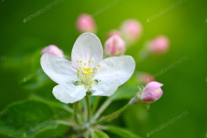 Apple flowers over natural green background