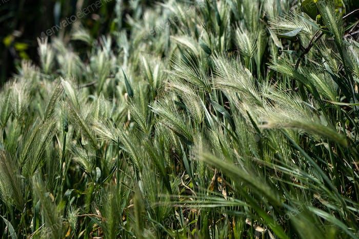 Hordeum Murinum, false, wall barley, green grass background.