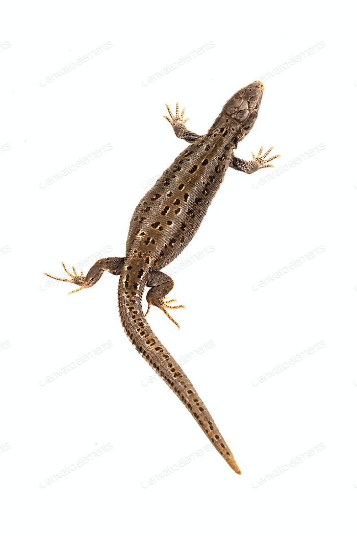 Sand lizard (Lacerta agilis) on a white background