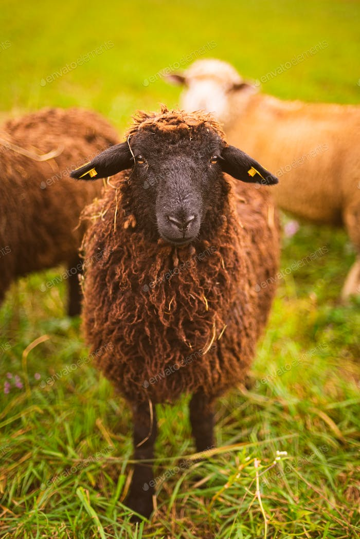 Brown wool , black-faced sheep grazing on a meadow in a herd. Farm with sheep concept