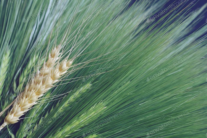 fresh green and golden ripe wheat bunch