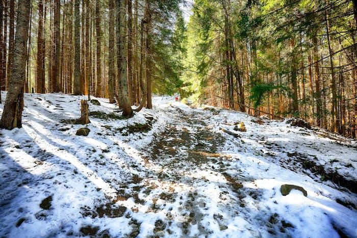 Frühling Berglandschaft mit Schnee und Tannenwald.