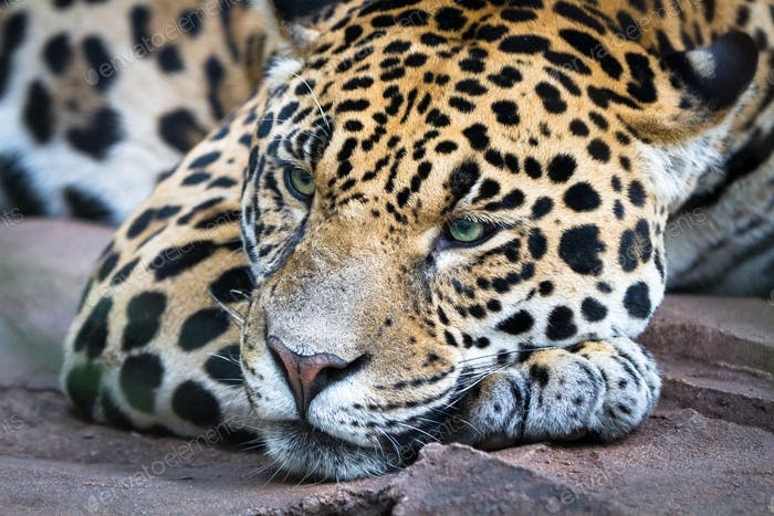 Jaguar Resting and Looking Sleepy
