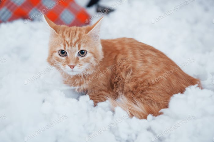 Orange pet lying on the couch. Close up view of cute cat on the fluffy white bed. Lovely nice pet