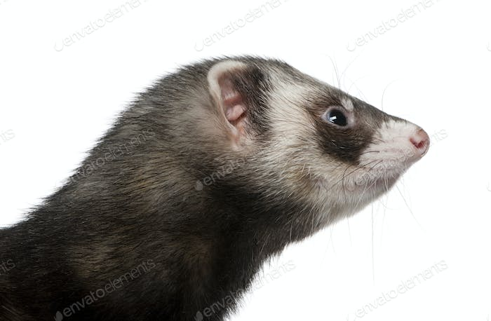 Side view of ferret, 3 years old, in front of white background