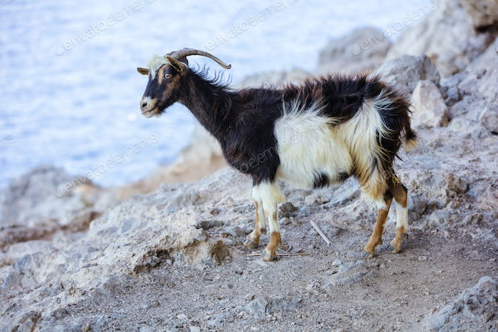 Black-and-white goat with bell in mountains on coast