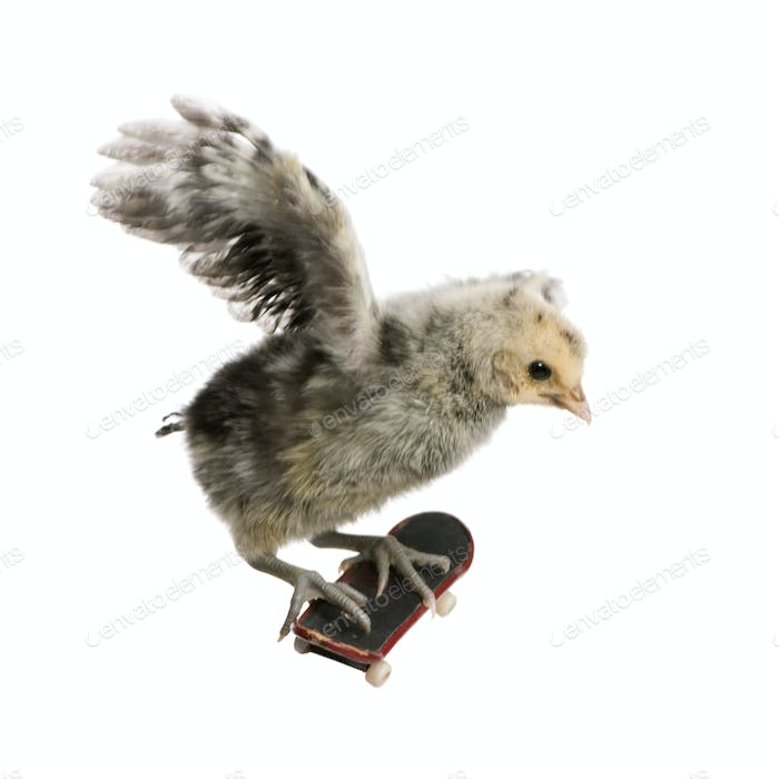Baby chicken on skateboard in front of white background, studio shot