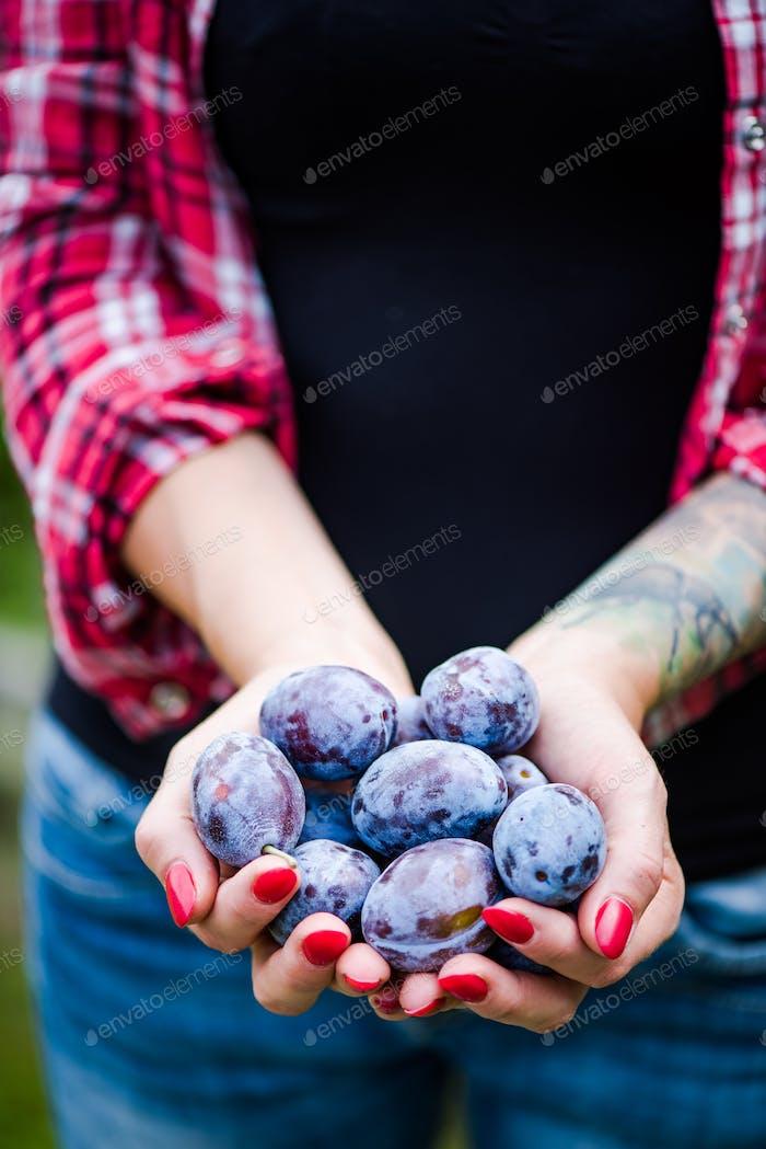 Frau Hände halten frische blaue Pflaumen
