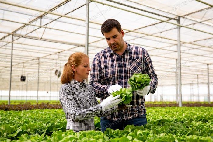 Zwei Forscher analysieren Salatpflanzen in einem modernen Gewächshaus