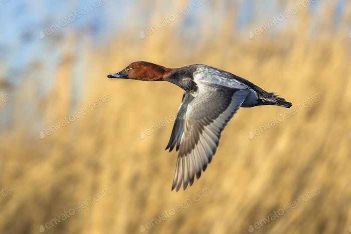 Common porchard flying