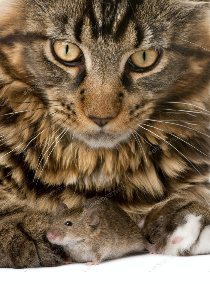 Close-up portrait of Maine Coon and wild mouse, 7 months old