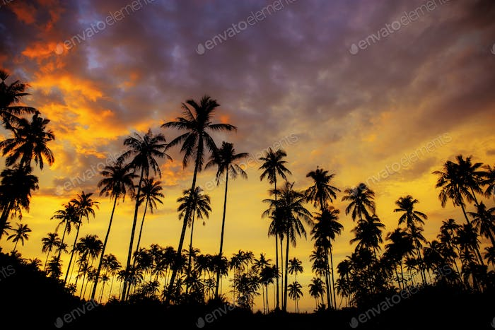 Coconut tree with the silhouette at sky