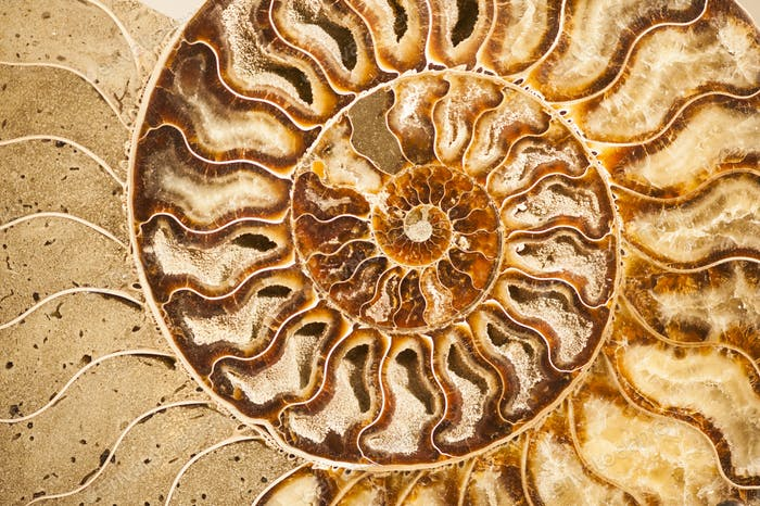 Detail of ammonite fossil shell
