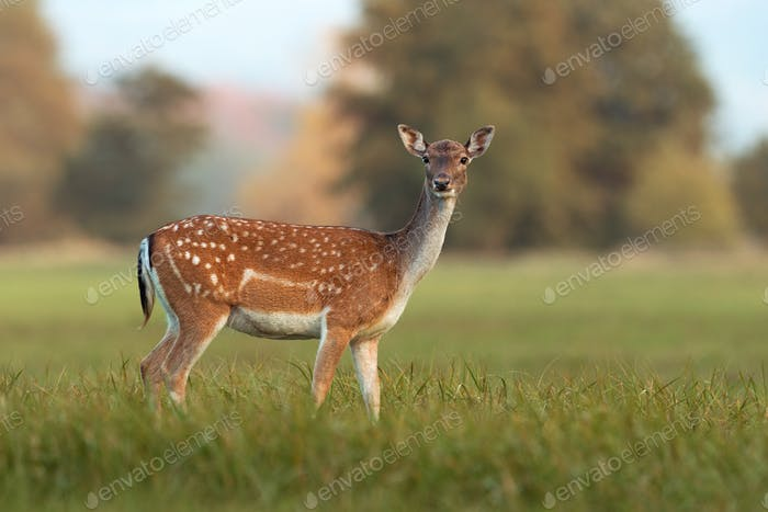 Female fallow deer, dama dama, in autumn colors