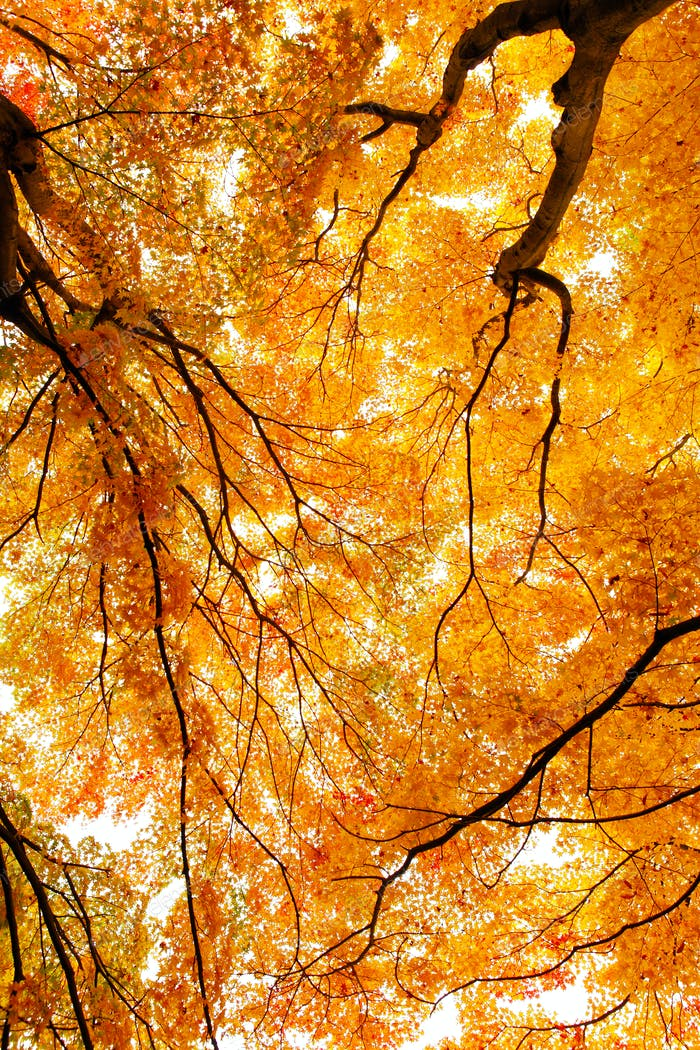 Maple tree in forest