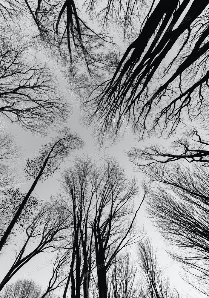 A view from the ground up of trees in winter without leaves.