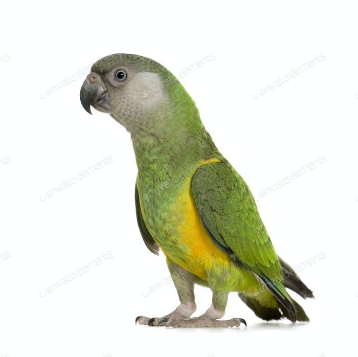 Senegal Parrot - Poicephalus senegalus