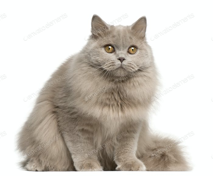 British longhair cat, 15 months old, sitting in front of white background