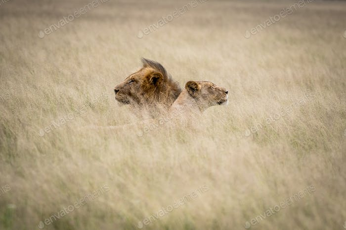 Lion couple laying in the grass.