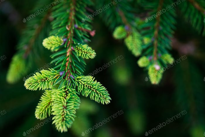 Natural fir tree brunches, Christmas wallpaper concept