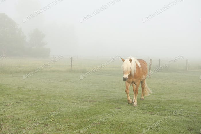 brown horse walk on pasture in morning