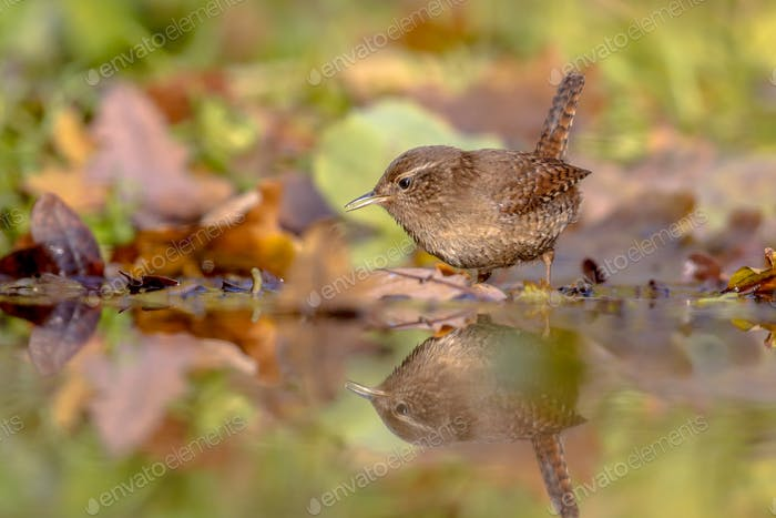 Water Reflection Eurasian wren autumn colored leaves