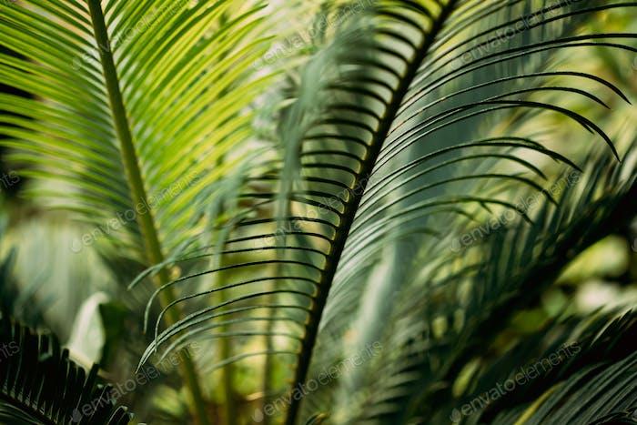 Grüne Blätter von Cycas Revoluta In Botanischer Garten
