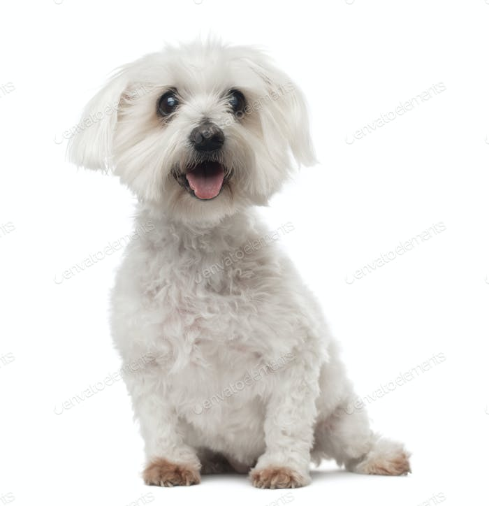 Old Maltese dog with cataract, sitting, panting, 15 years old, isolated on white