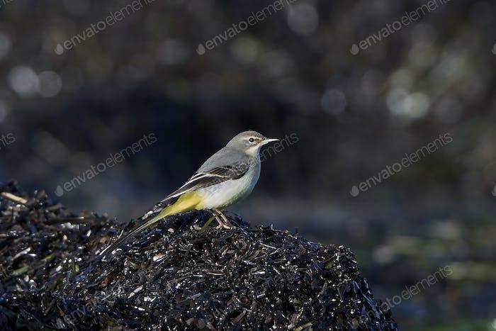Grey wagtail (Motacilla cinerea)