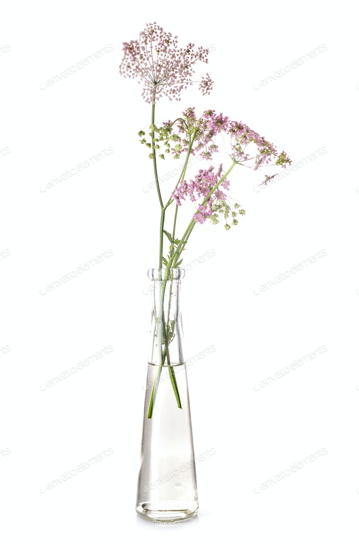 Apiaceae in test tube