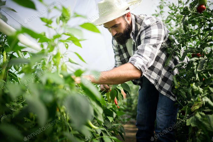 Attractive happy male farmer working in greenhouse