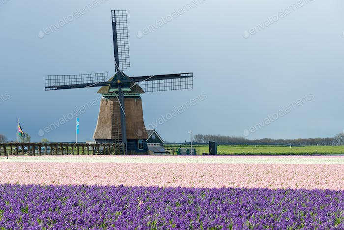 Windmill with hyacinths in spring