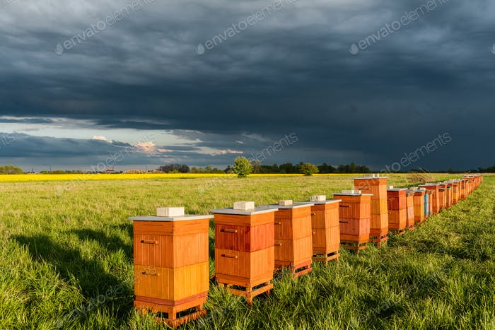 Row of Beehives Outdoor near Rapeseed or Canola Plantation. Beekeeping and Honey Productiom