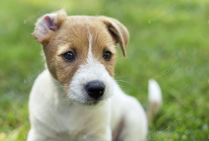 Jack Russell terrier puppy dog with funny ears