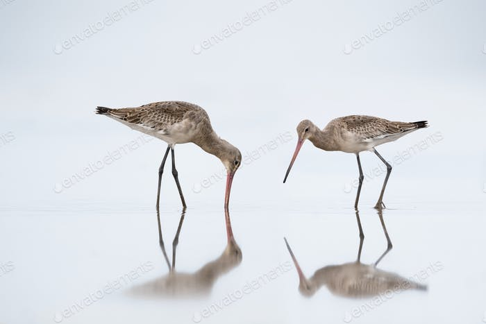 beautiful black tailed godwit in water, Limosa limosa