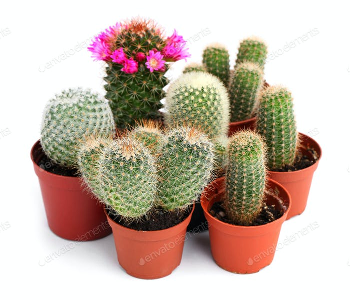 Collection of cactuses in a pot, over white background