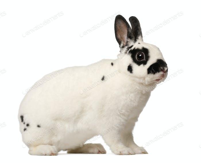 Dalmatian rabbit, Oryctolagus cuniculus, 4 months old