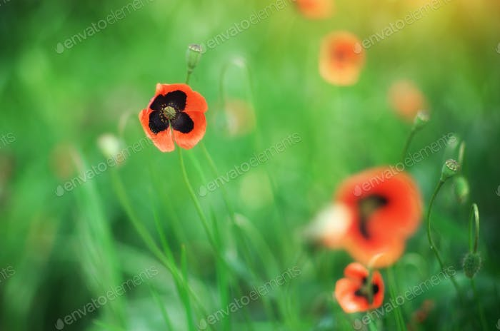 Spring  poppy