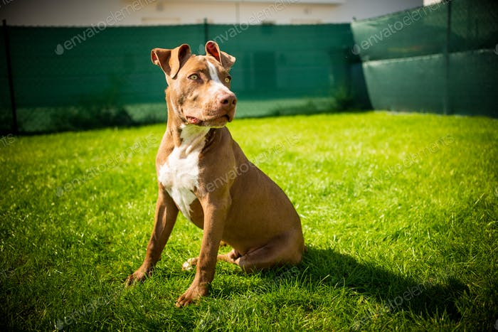 Young pitbull Staffordshire Bull Terrier in garden sits on grass with floppy ears background