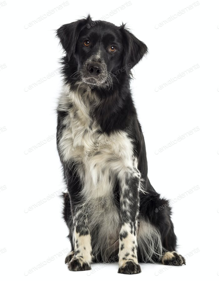 Border Collie sitting and looking at the camera